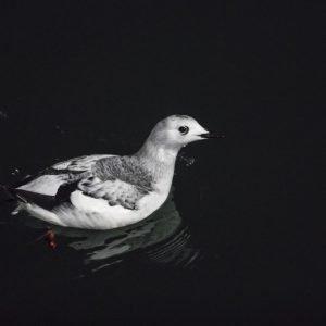Little auk in winter plumage