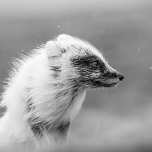 Arctic fox in spring storm