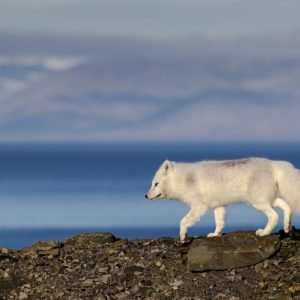 Arctic Fox in autumn colors