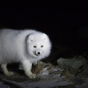 Arctic fox in winter fur
