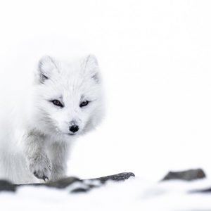 Arctic fox runs