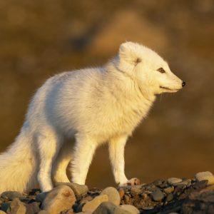 Arctic Fox in autumn light