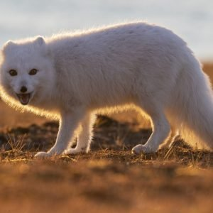 Arctic Fox in low autumn light