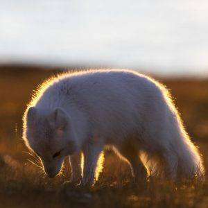 Arctic Fox in autumn light