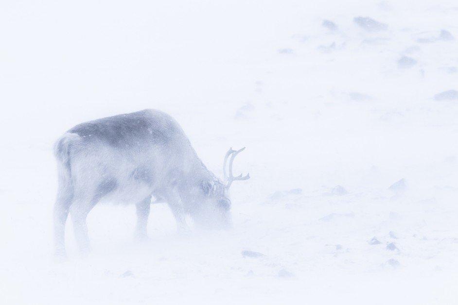 Svalbard reindeer in winter storm