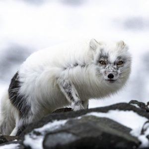 Arctic Fox in spring