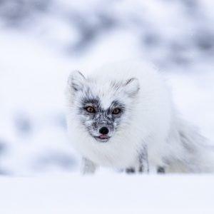Arctic fox in spring fur