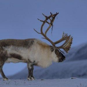 Svalbard reindeer in October