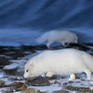 Arctic Fox twilight