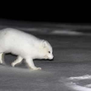 Arctic fox at dark winter