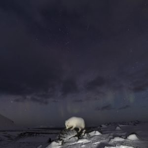 Arctic fox at dark winter