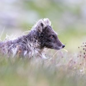 Arctic fox in spring fur