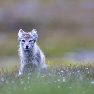 Arctic summer fox