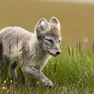 Arctic fox summer