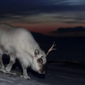 Svalbard reindeer in January twilight