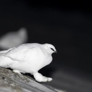 Svalbard rock ptarmigan with led-light