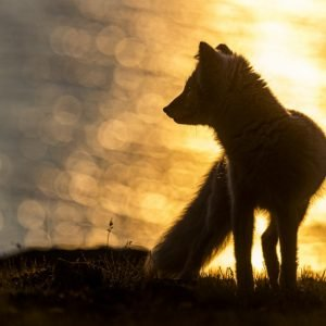 Arctic fox in autumn sunset