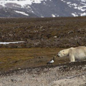 Polar bear at summer