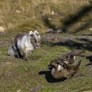 Arctic fox hunting eider egg