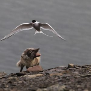 Arctic tern and arctic fox