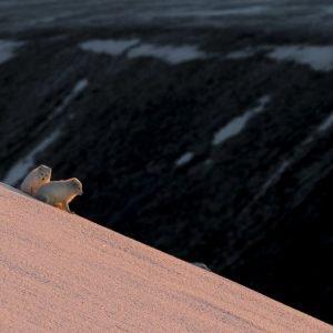 Arctic Fox in mating periode