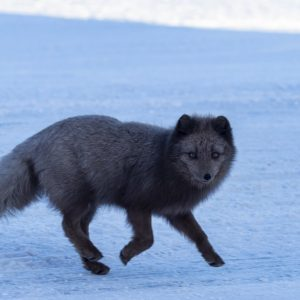 A blue arctic fox