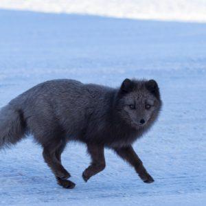 A blue arctic fox