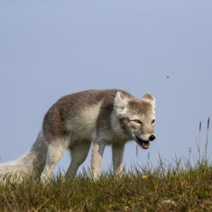Arctic fox in summer fur