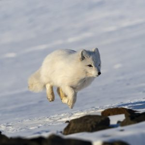 Arctic fox in winter fur