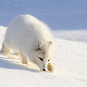 Arctic fox runs