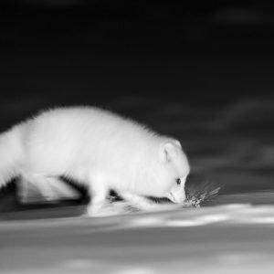 Arctic fox running