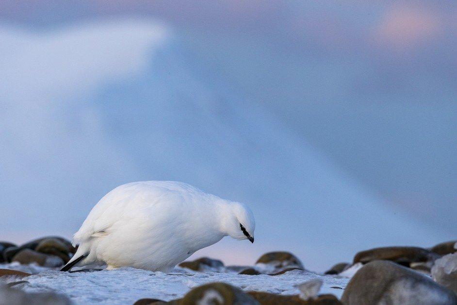 Svalbard rock ptarmigan