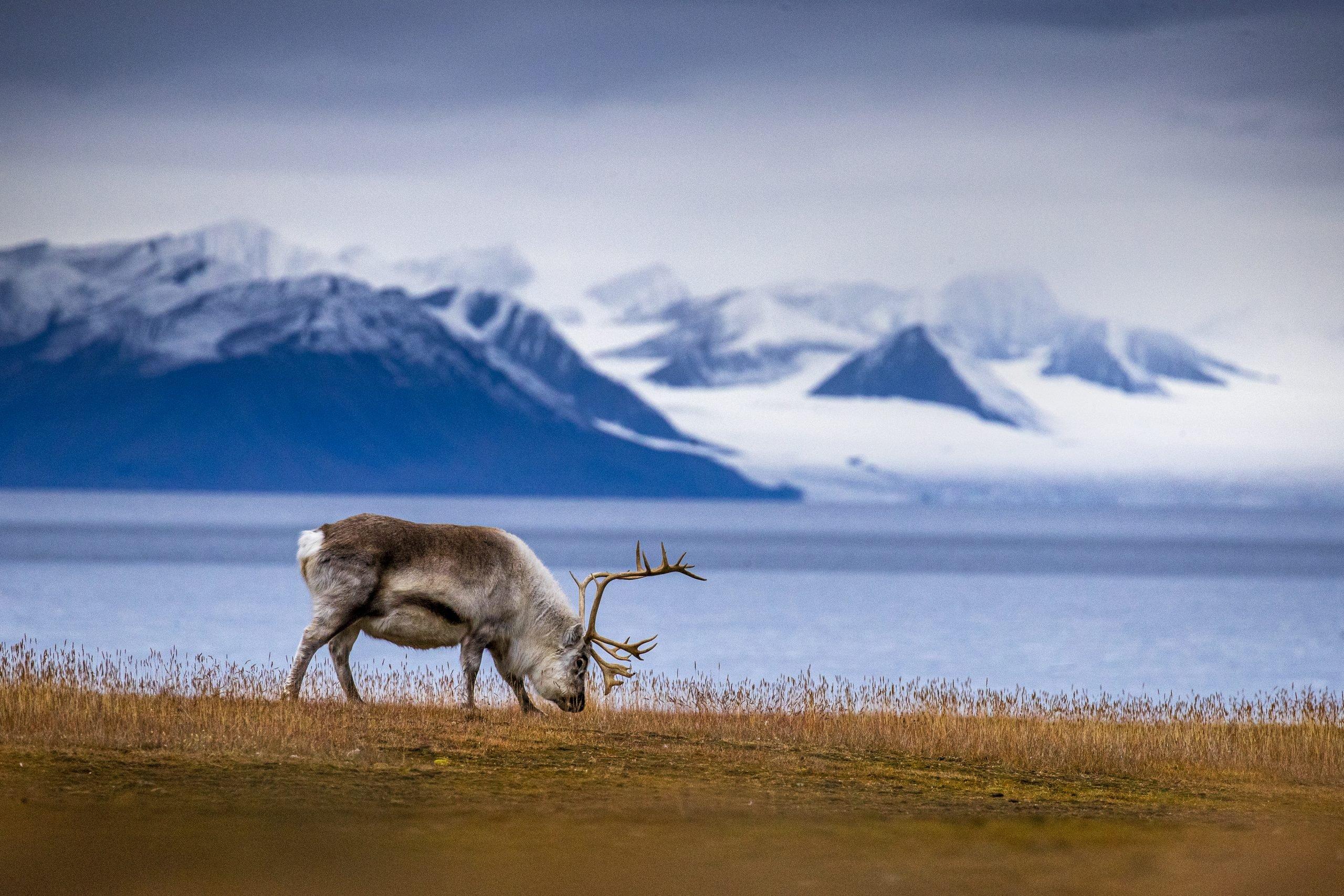 Autumn reindeer